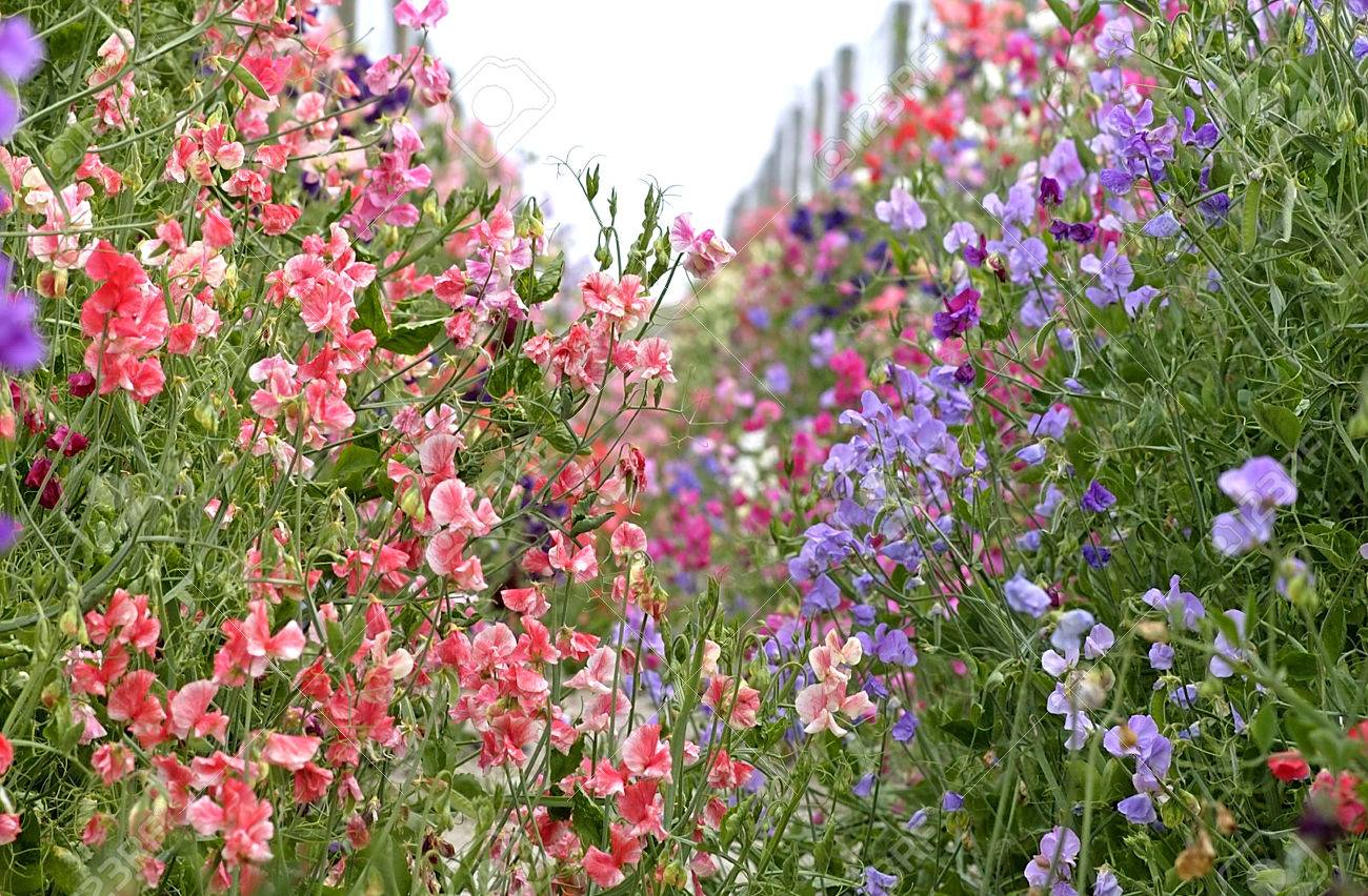 Red And Blue Colored Sweet Peas In A Garden Stock Photo Picture