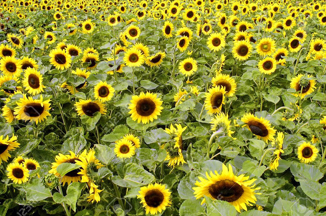 """Sunflower (Helianthus Annuus). What Is Usually Called The """"flower"""".. Stock Photo, Picture And Royalty Free Image. Image 67747604."""