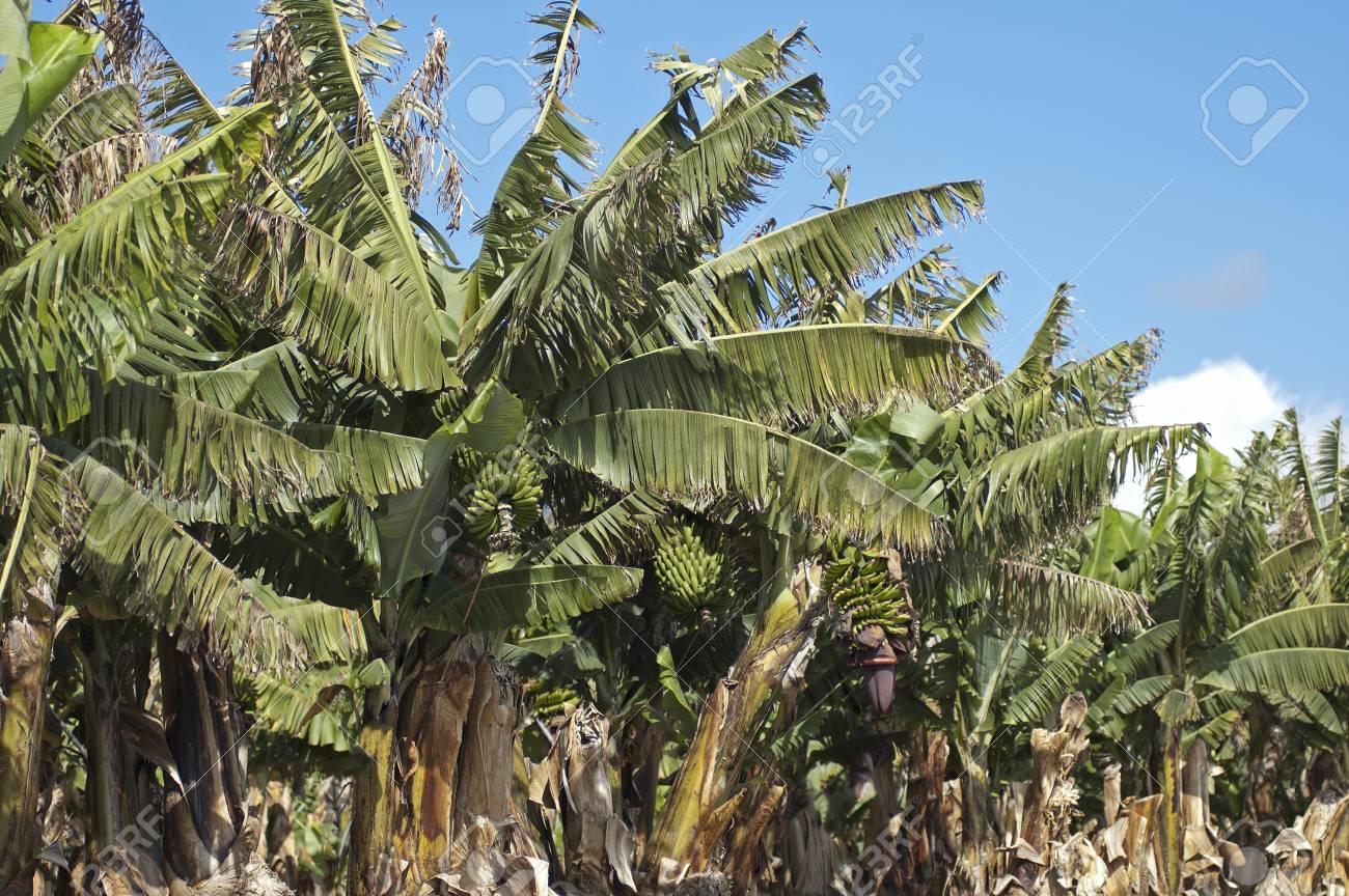 Pianta Di Banana Foto banana (musa). una banana è un frutto commestibile prodotto da diversi tipi  di grandi piante erbacee nel genere musa. la pianta di banana è la più
