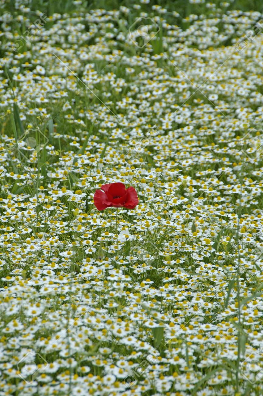 Poppies Or Wild Roses Are Herbaceous Annual Biennial Or Short Lived