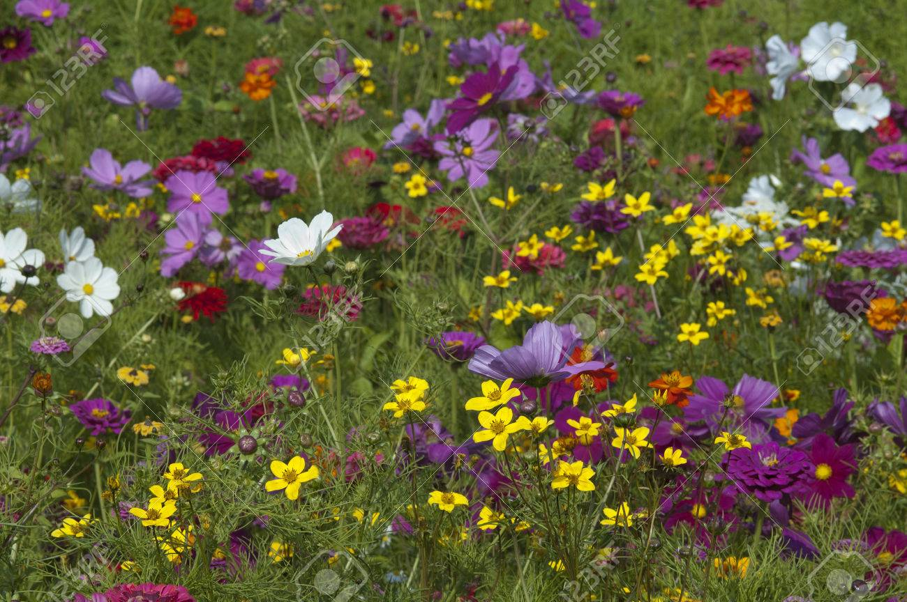 Wild Flower Fields With Annual Plants From Seeds Stock Photo Picture And Royalty Free Image Image 67796542