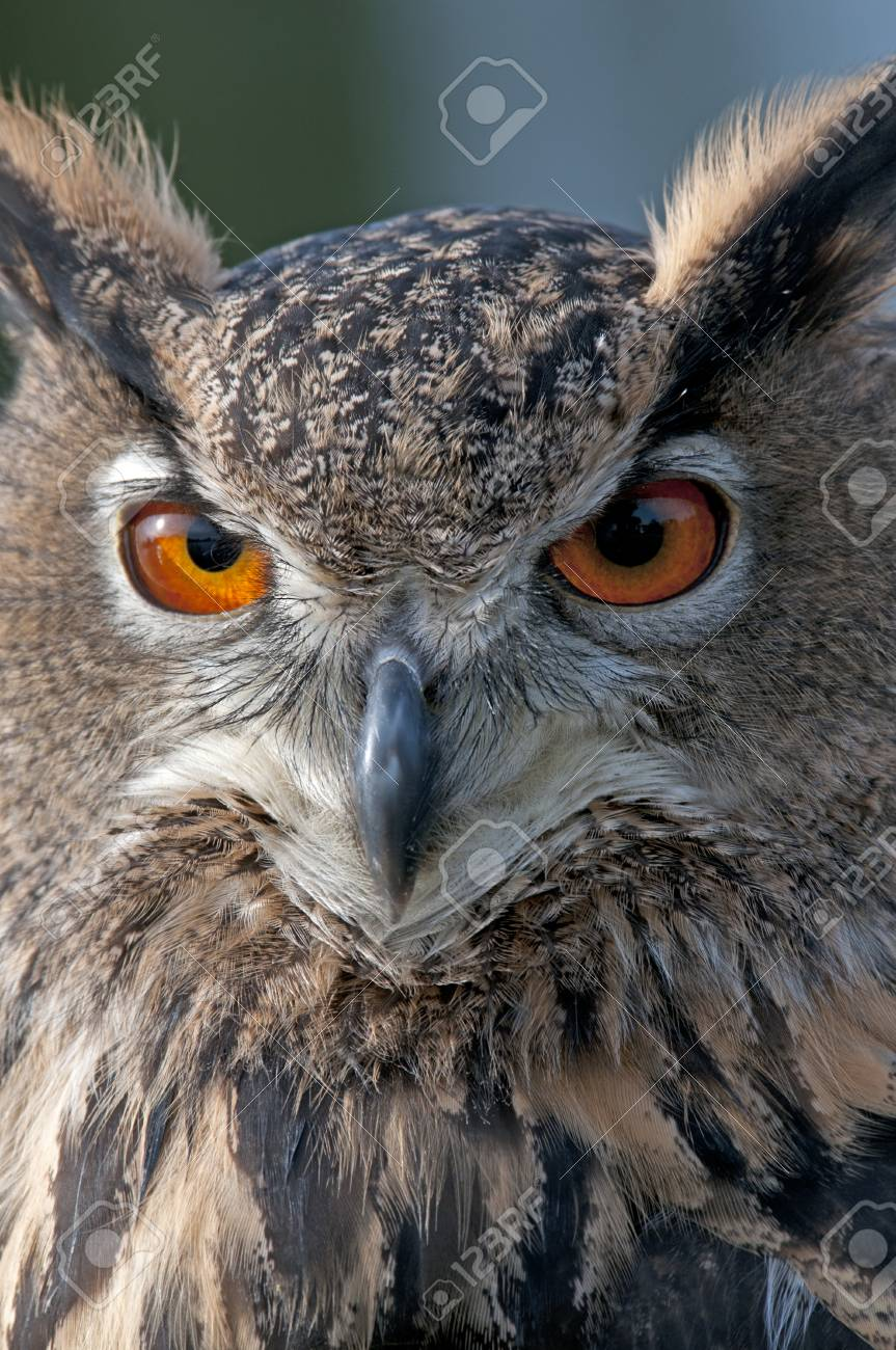 A Beautiful Owl With Bright Orange Eyes Stock Photo Picture And Royalty Free Image Image 72200412