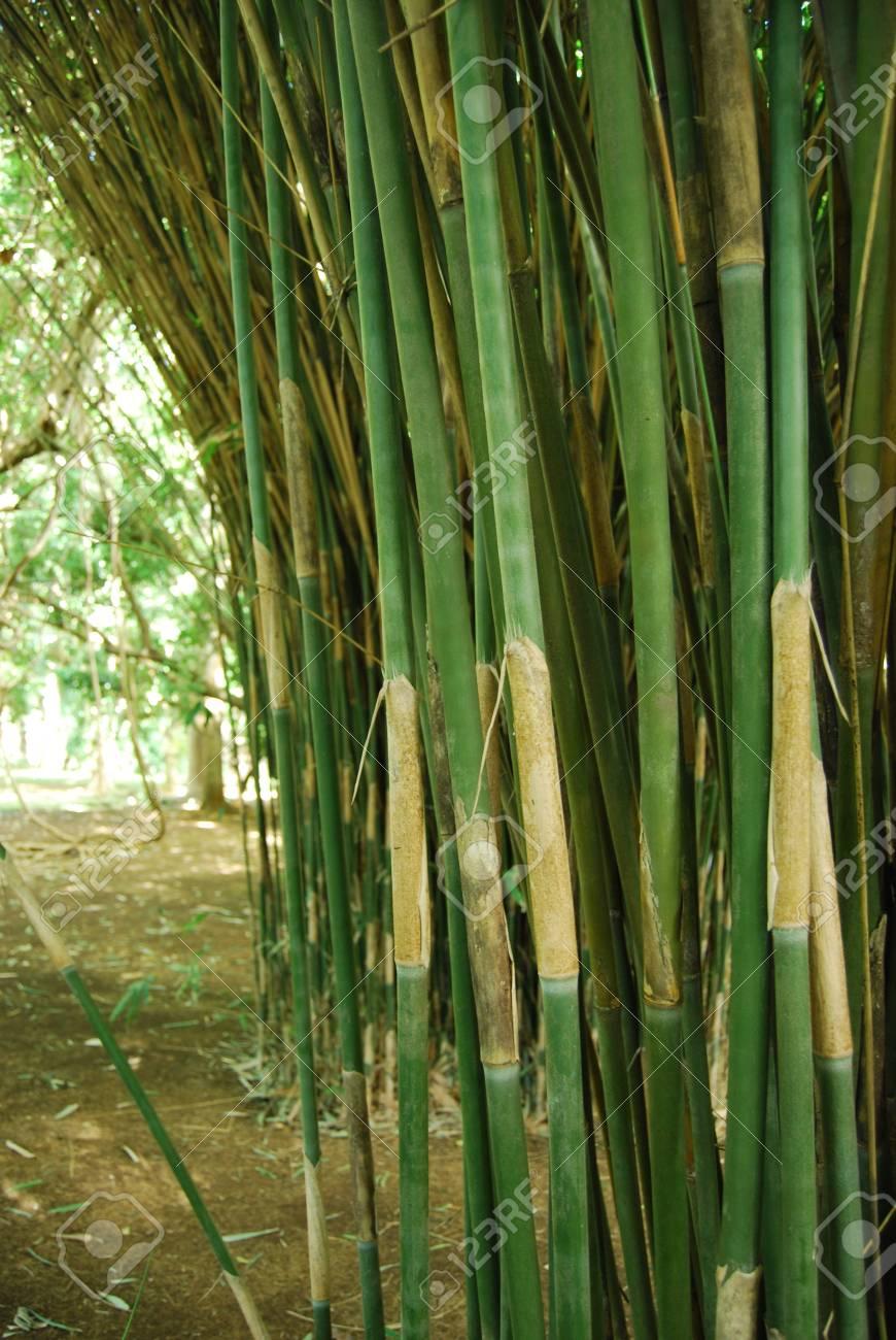 Steli Di Bamb.Primo Piano Di Steli Di Bambu Verde Nel Giardino Botanico