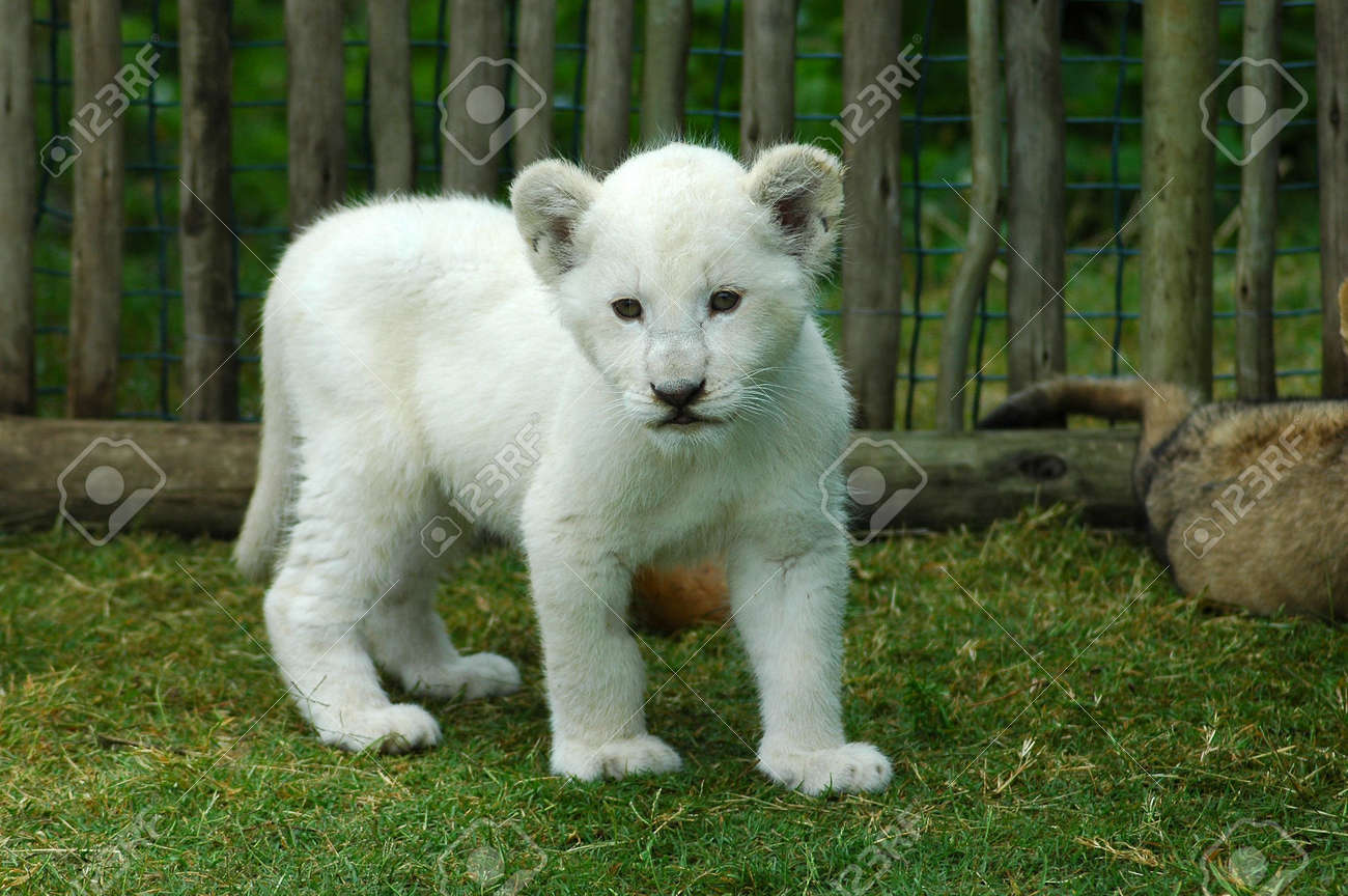 A Seven Weeks Old Cute Rare White Lion Cub Walking In A Game Stock