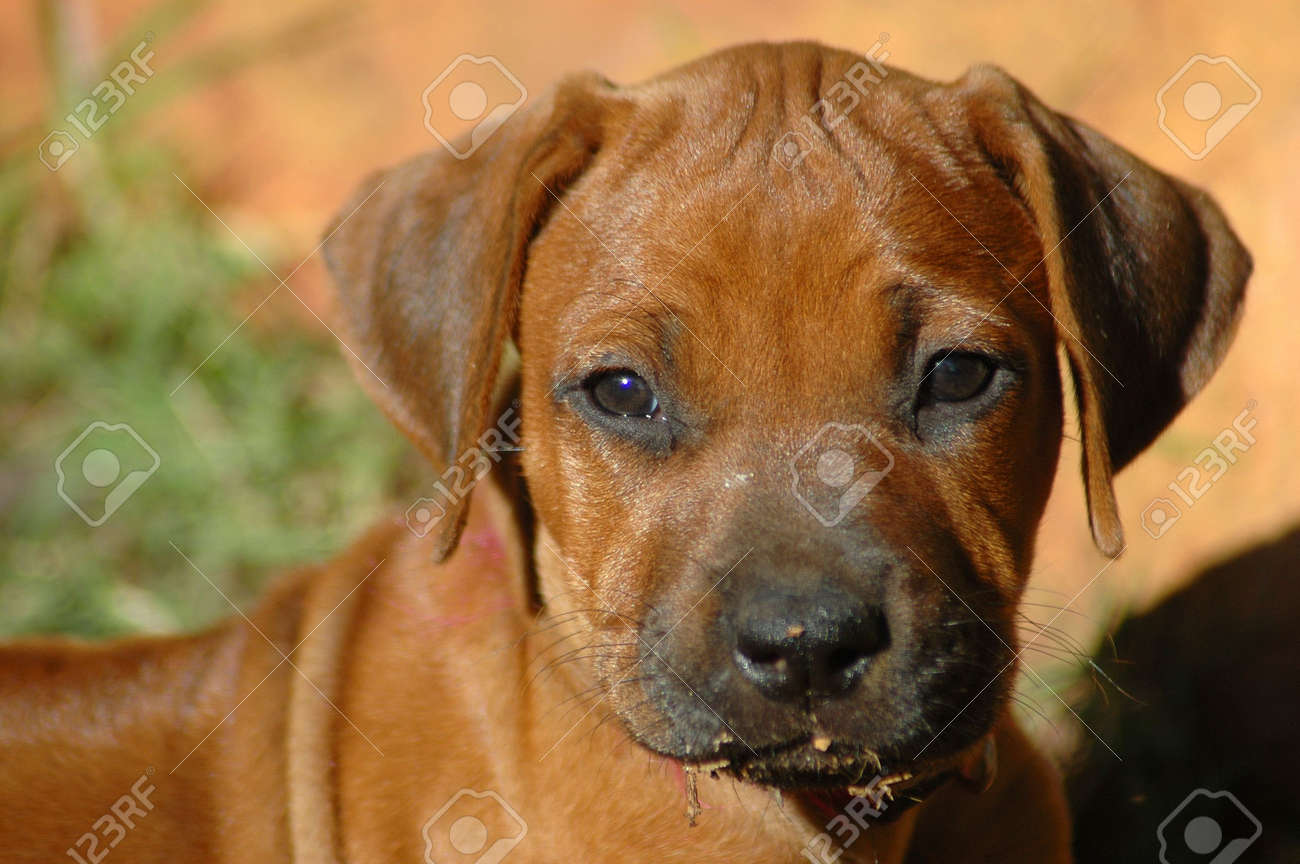 Amazing Rhodesian Ridgeback Brown Adorable Dog - 1141471-a-beautiful-little-rhodesian-ridgeback-hound-puppy-dog-head-portrait-with-cute-expression-in-the-pre  Perfect Image Reference_75959  .jpg