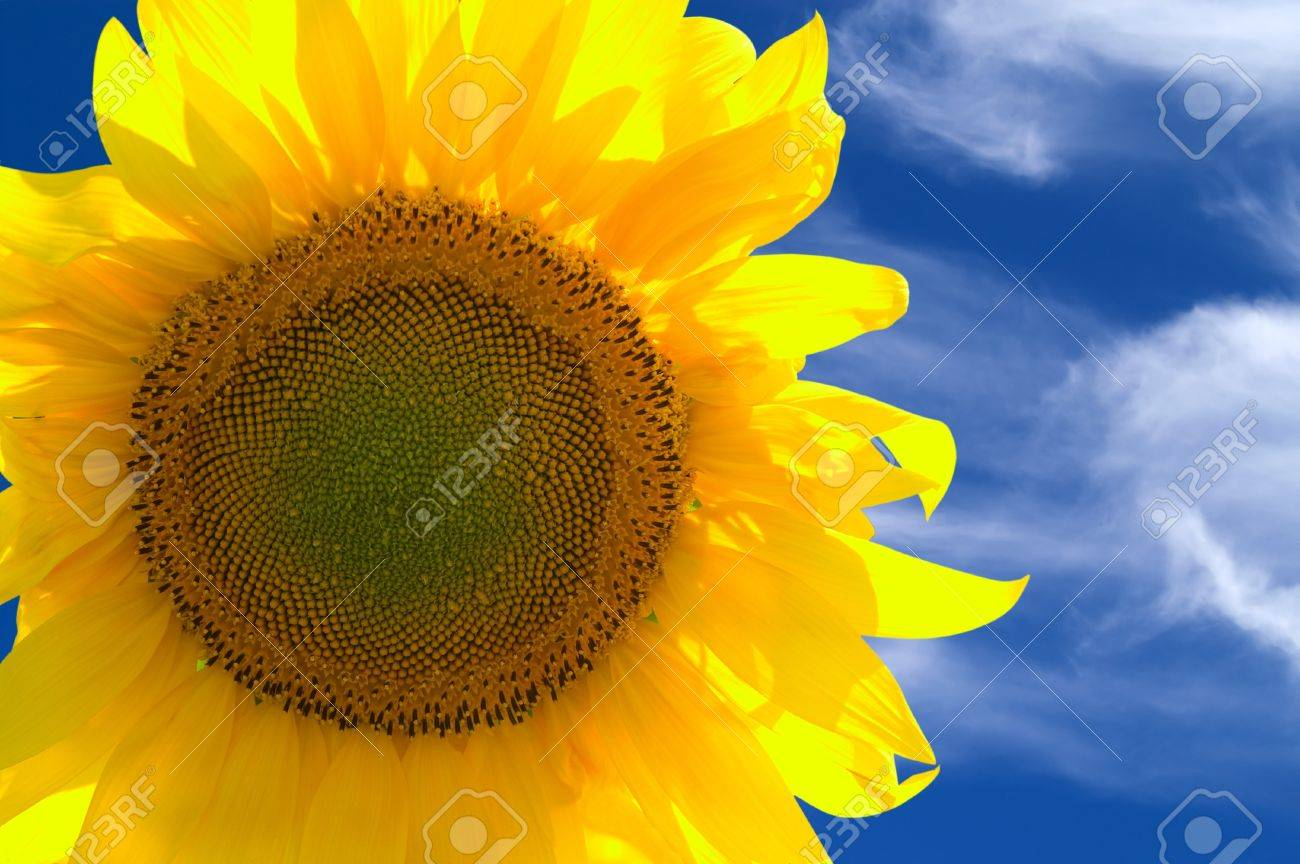 Closeup of yellow sunflower against blue sky Stock Photo - 9538526
