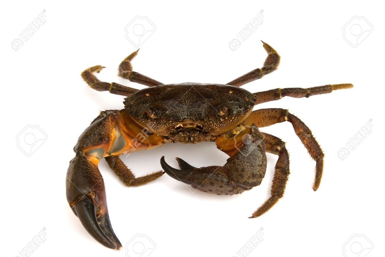Crab on white background Stock Photo - 9642884