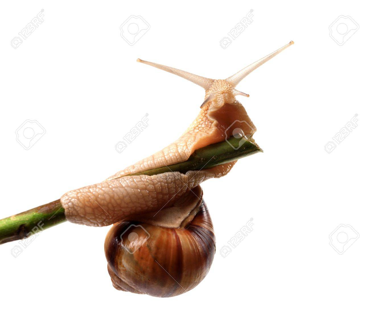 Snail crawling on the stem  Isolated on white background Stock Photo - 16486546