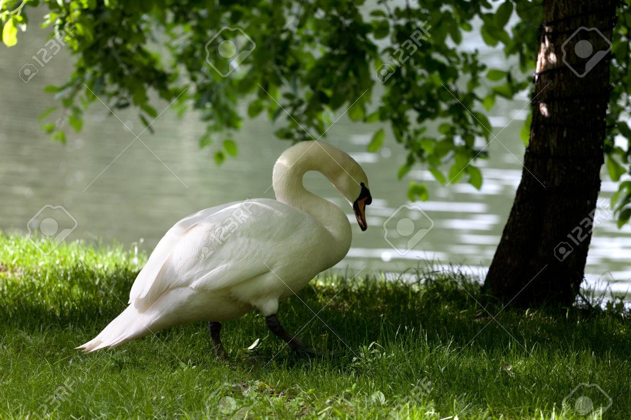 Image result for swan under tree
