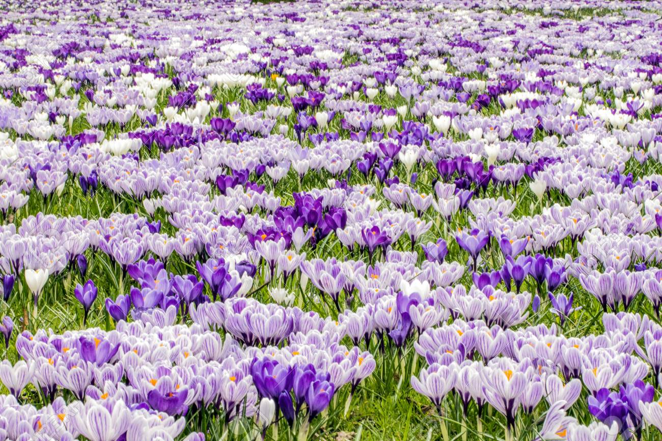 72db72ed8 Brown dragonfly flying over a pink and white crocus flower field in spring  time Stock Photo