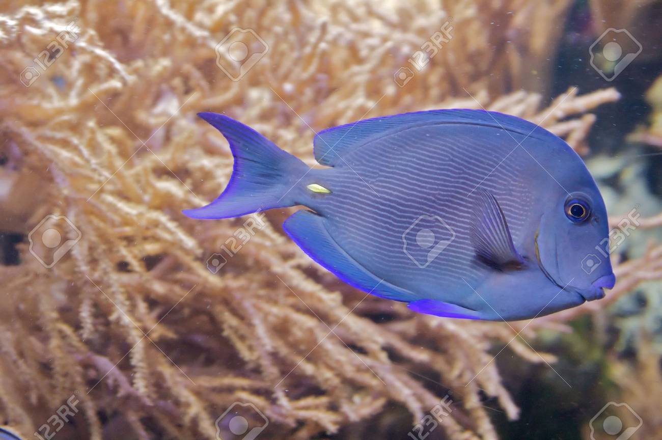 A blue, stripped triggerfish, with an oval, highly compressed body. Stock Photo - 6101291