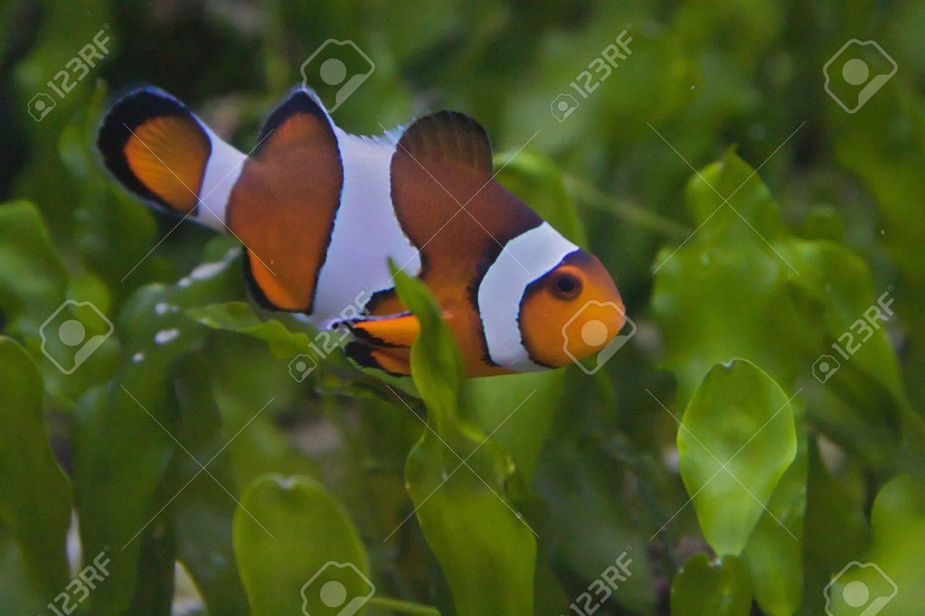 Nemo, the clownfish Stock Photo - 6155790