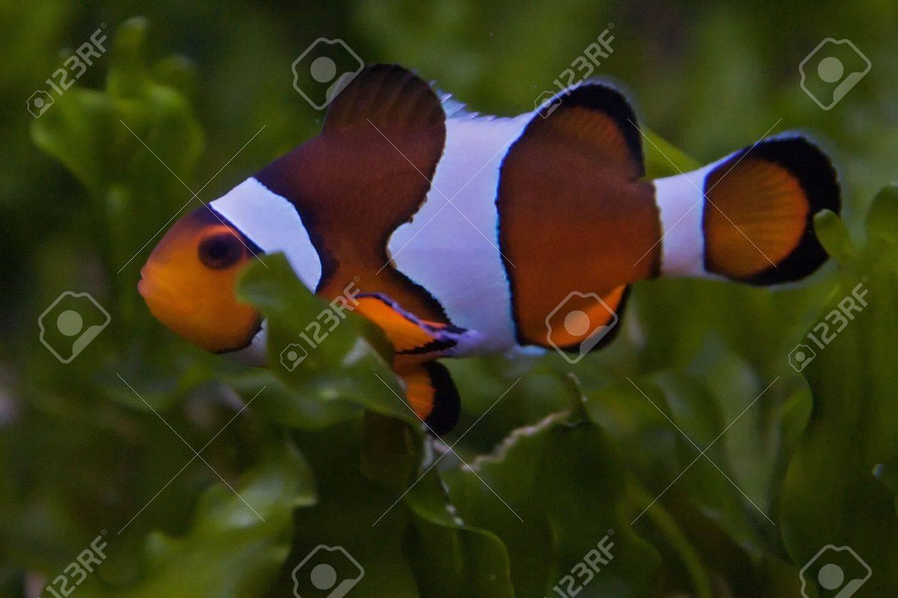 Nemo, the clownfish Stock Photo - 6155787