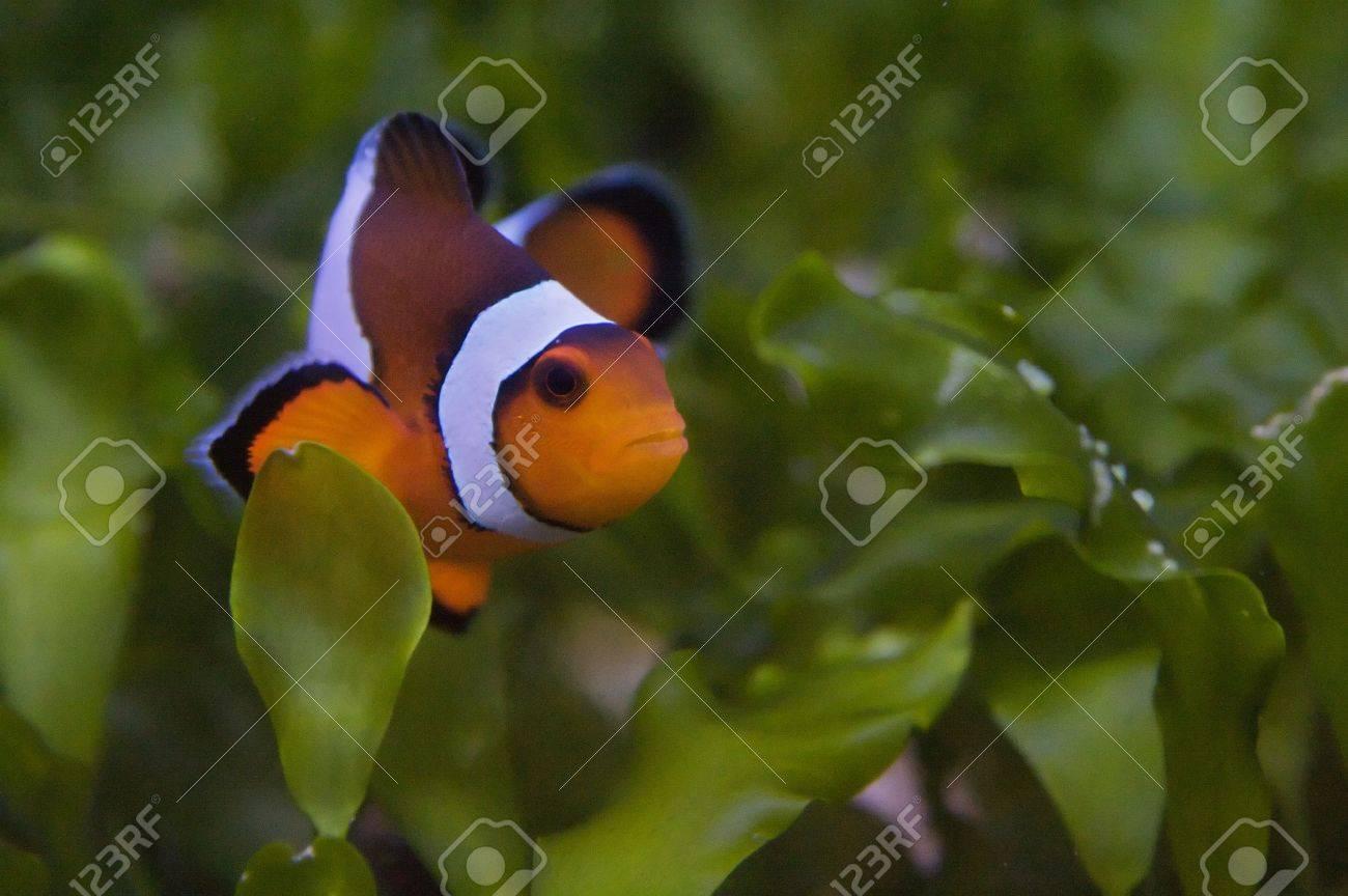 Nemo, the clownfish Stock Photo - 6145318