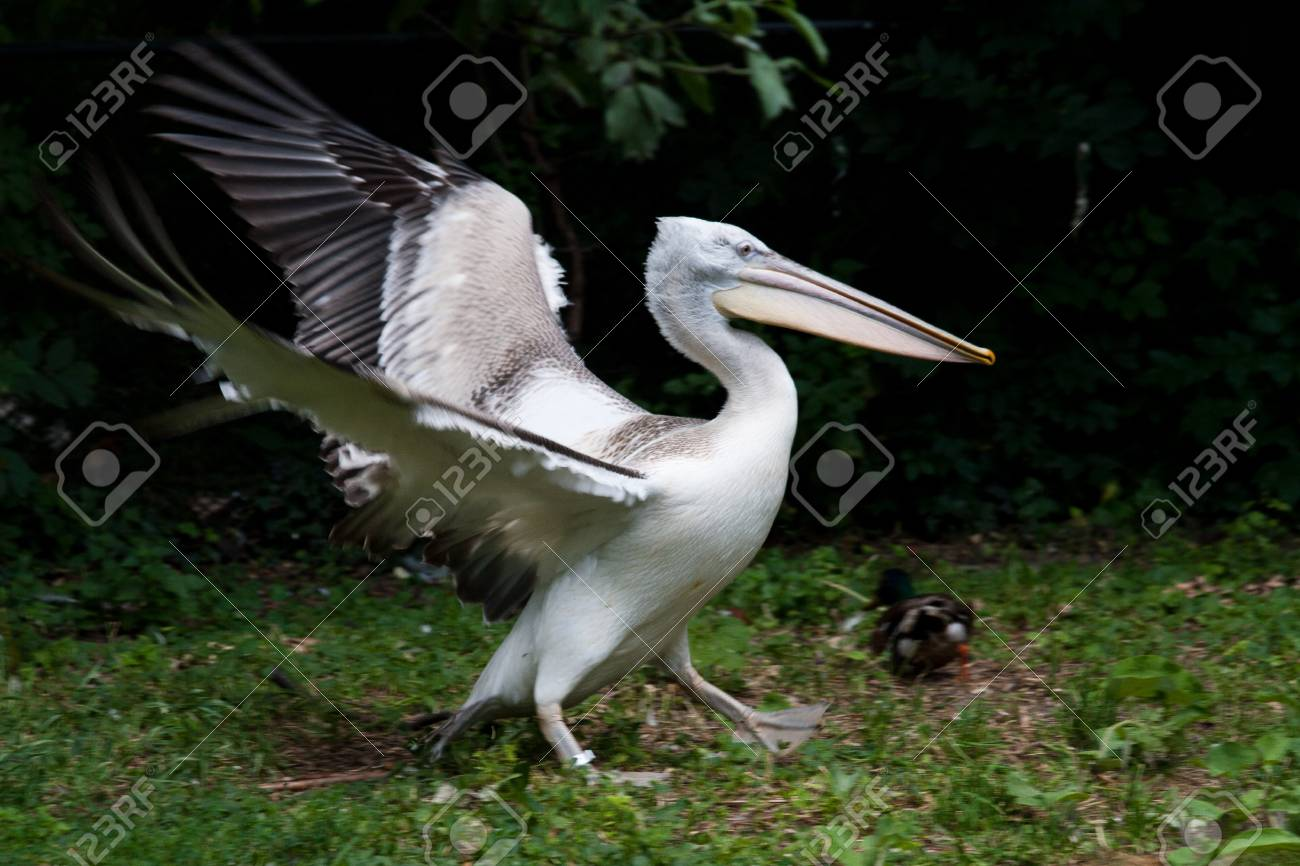 Pink-backed Pelican (Pelecanus rufescens)  by the lake Stock Photo - 11755606