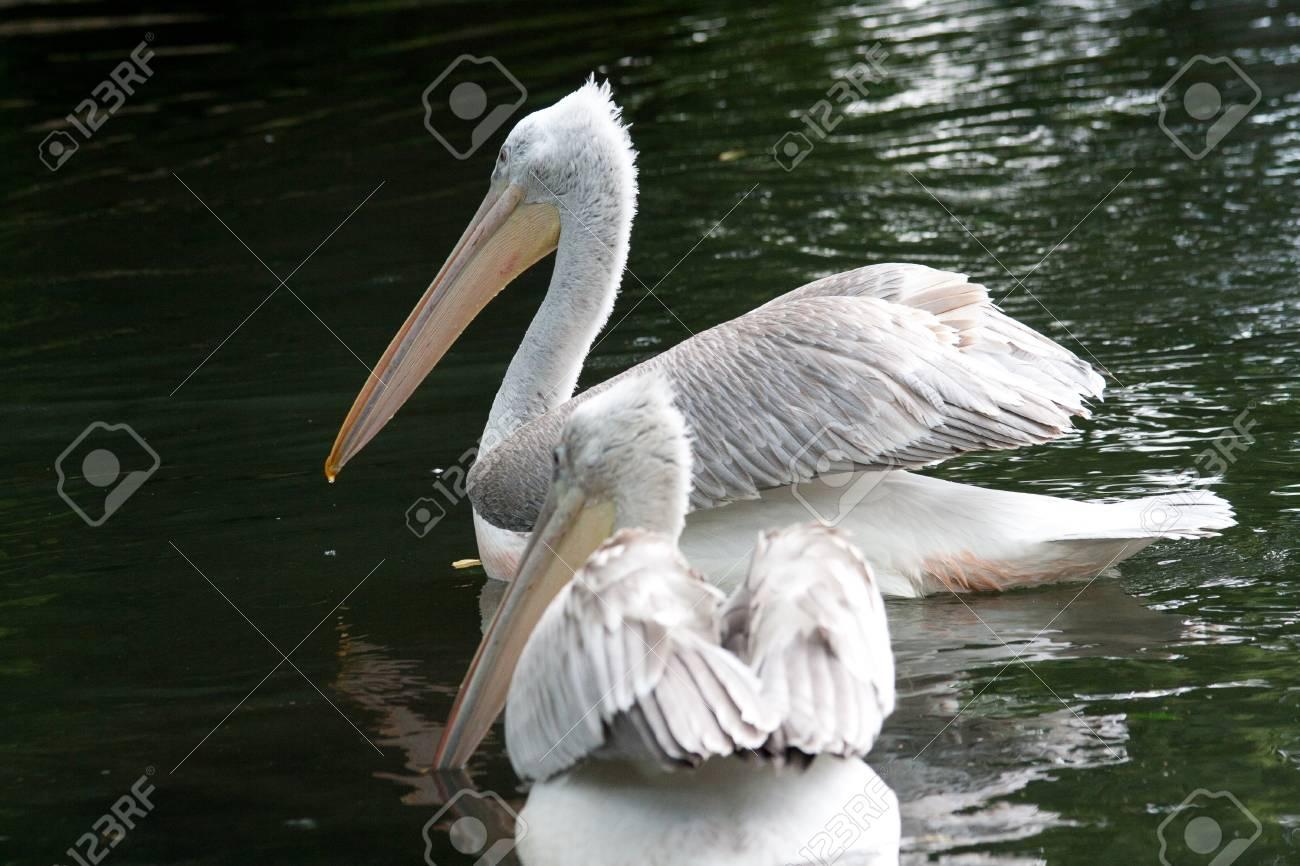 ink-backed Pelican (Pelecanus rufescens) on the lake. Stock Photo - 11766255