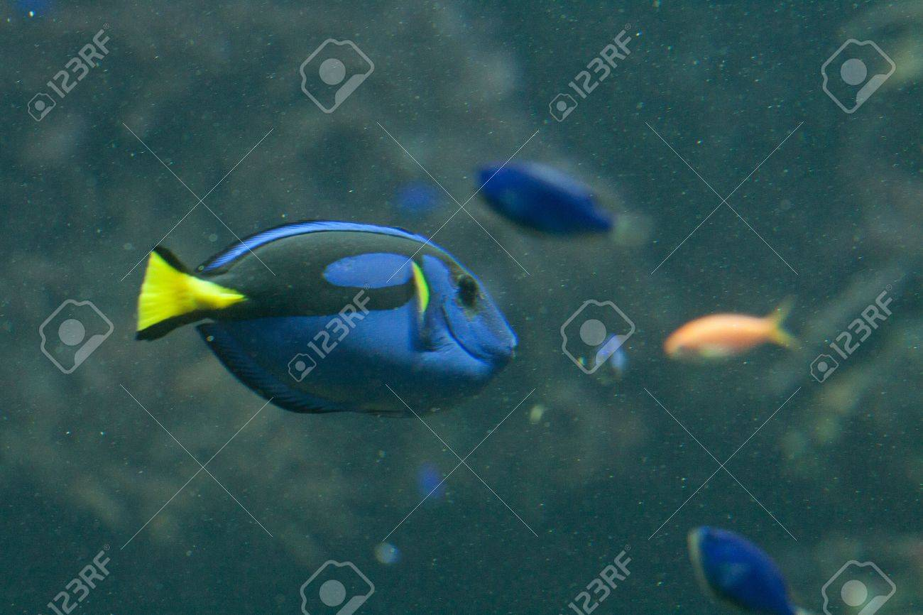 Dora in Nemo movie, a blue, black and yellow fish-surgeon or blue regal tang (paracanthurus hepatus) Stock Photo - 11766898