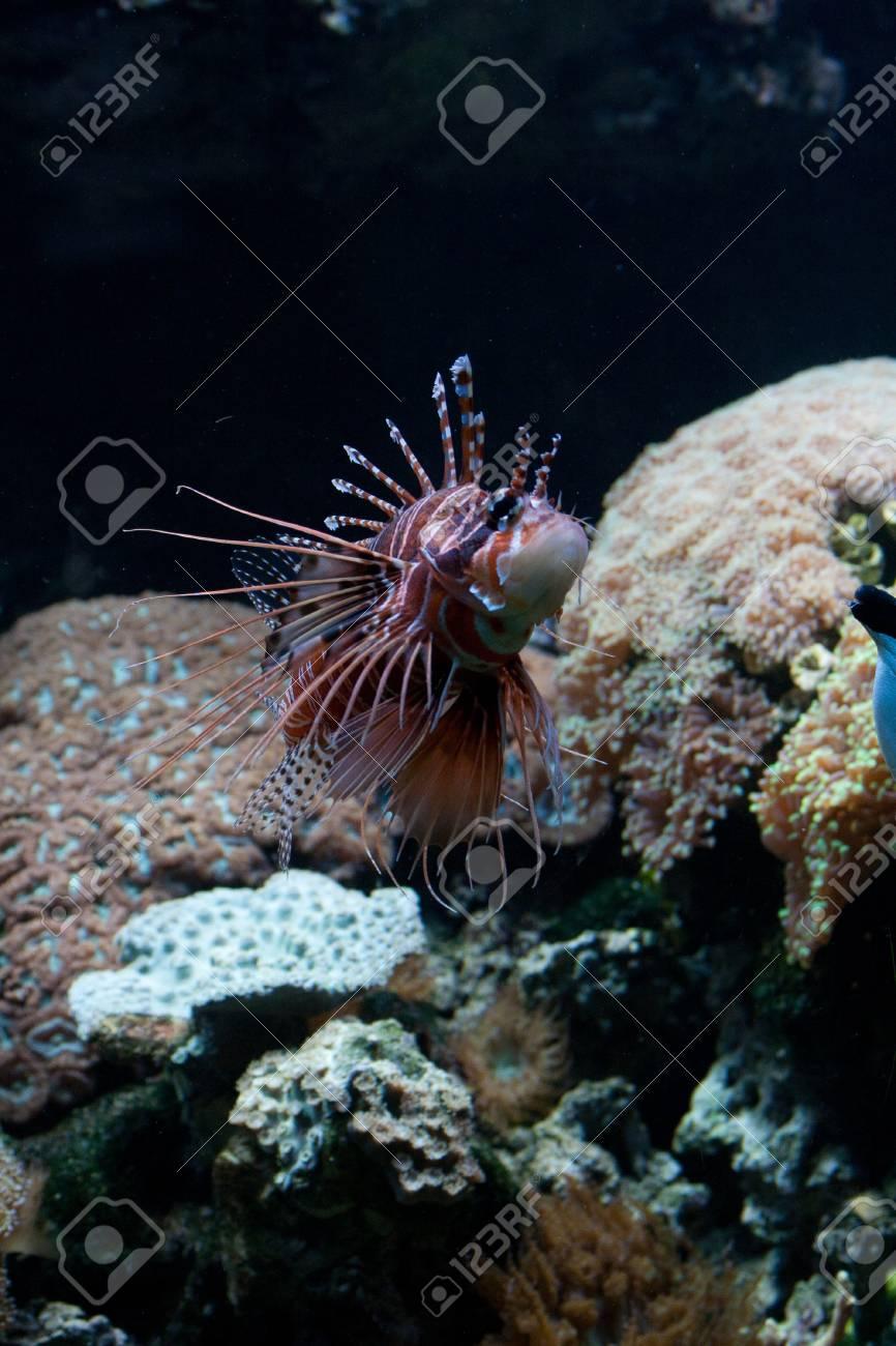 Le Rouge Lionfish (Pterois Volitans) Poissons Venimeux Récif De ...