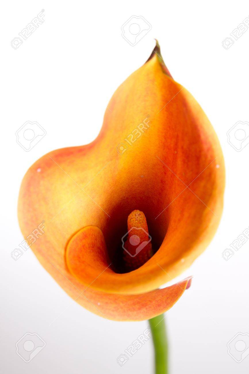 Orange Calla lily(Zantedeschia) over white Stock Photo - 11782299