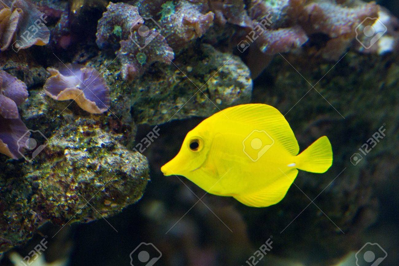 The yellow tang (Zebrasoma flavescens) is a saltwater fish species of the family Acanthuridae (surgeonfish family) Stock Photo - 11829812