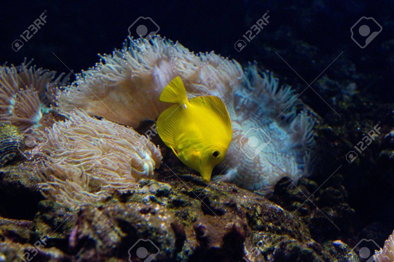 The yellow tang (Zebrasoma flavescens) is a saltwater fish species of the family Acanthuridae (surgeonfish family) Stock Photo - 11830994