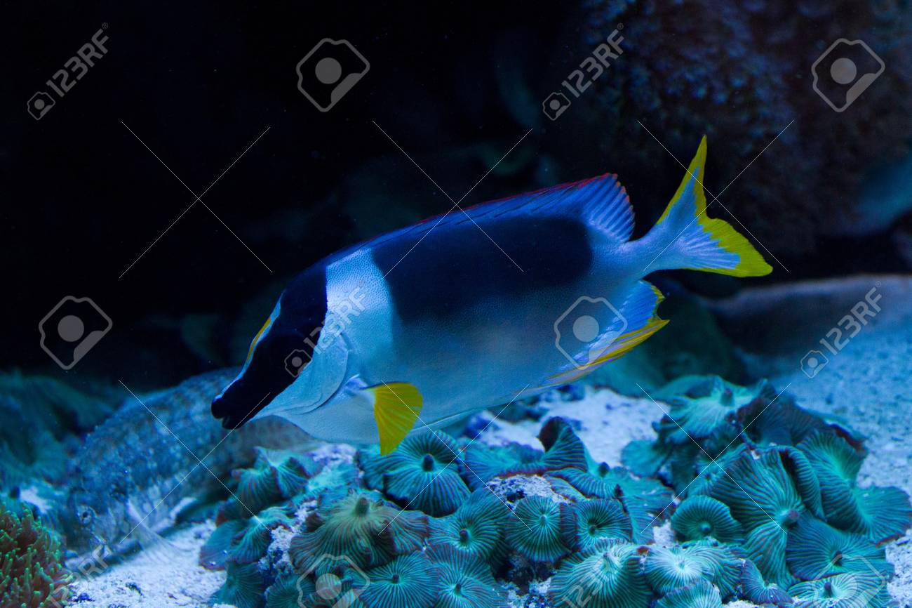 Rabbitfishes or spinefoots are perciform fishes in the family Siganidae Stock Photo - 11897120