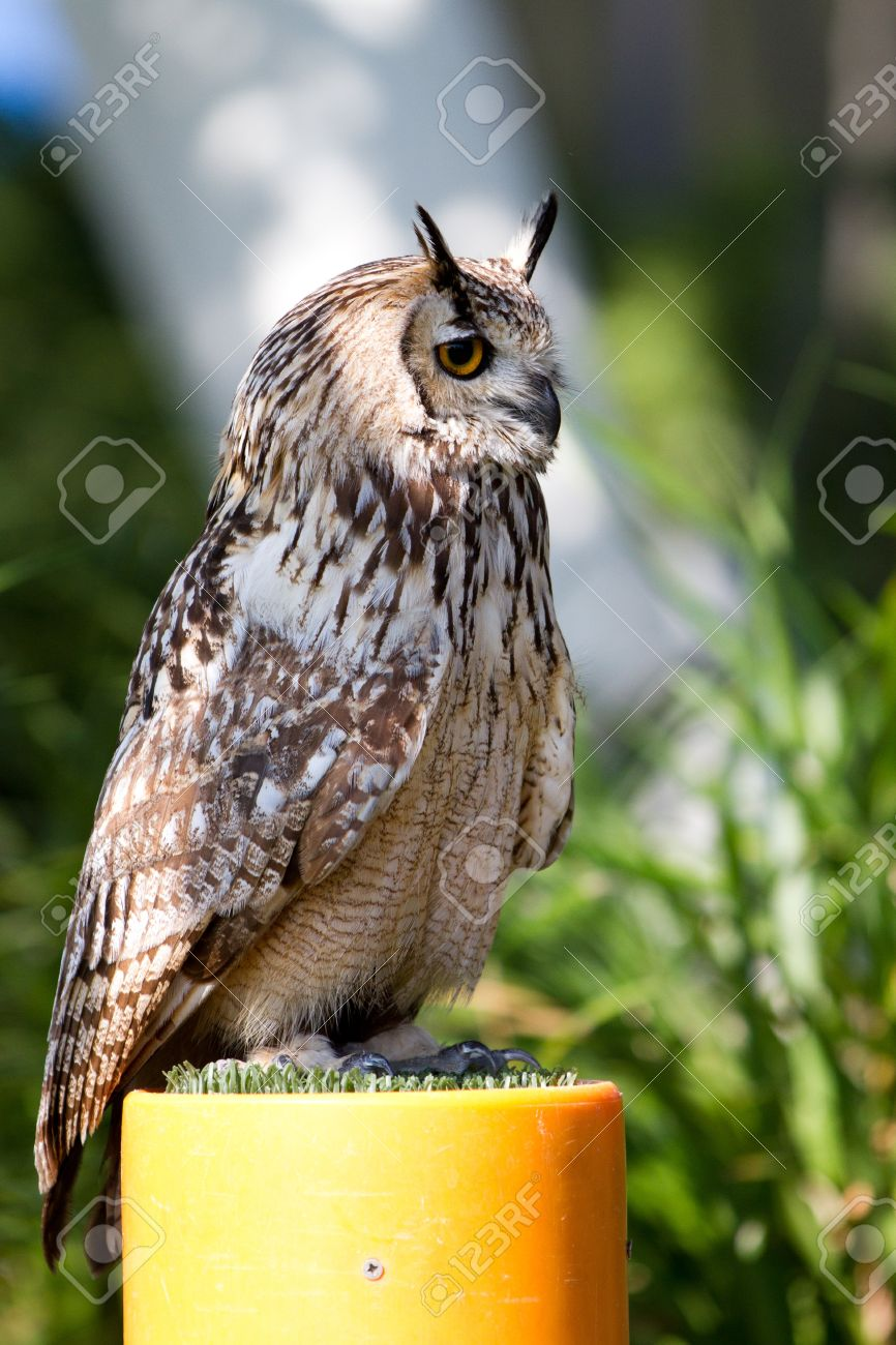 Owls (Strigiformes) have large forward-facing eyes and ear-holes; a hawk-like beak; a flat face; and usually a conspicuous circle of feathers, a facial disc, around each eye. Stock Photo - 11842265
