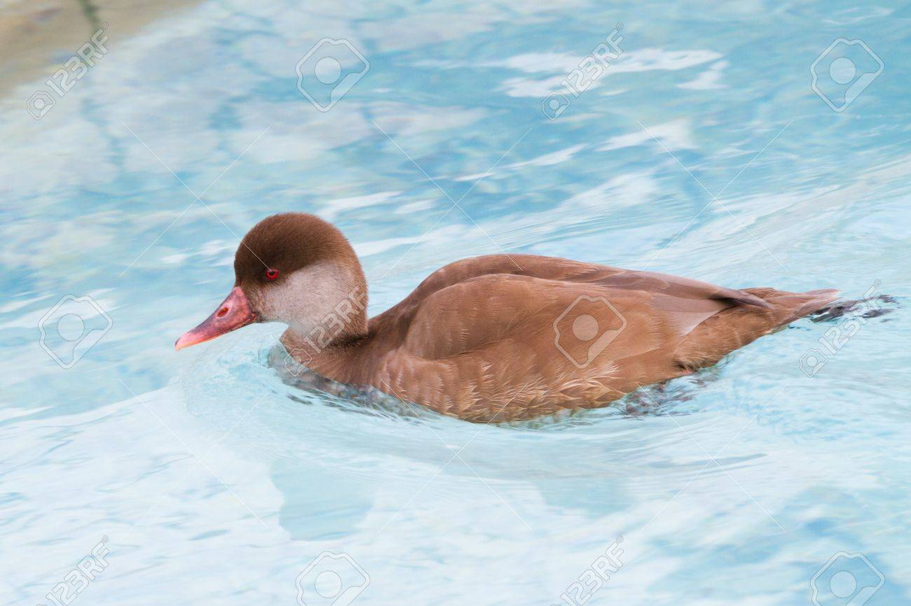 Duck on water Stock Photo - 11842272