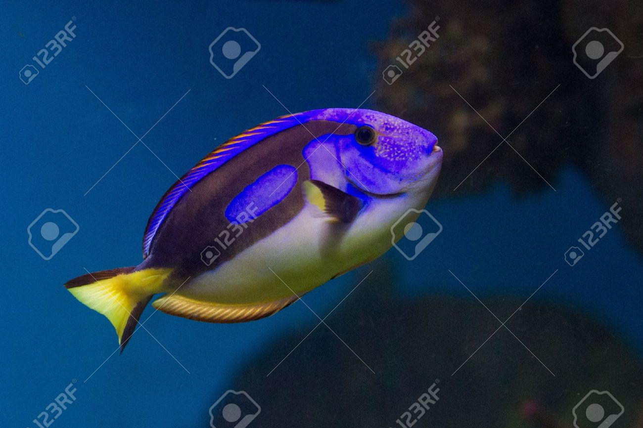 Dory from Nemo cartoon is a blue, black and yellow fish-surgeon or blue regal tang (paracanthurus hepatus). Stock Photo - 11872925