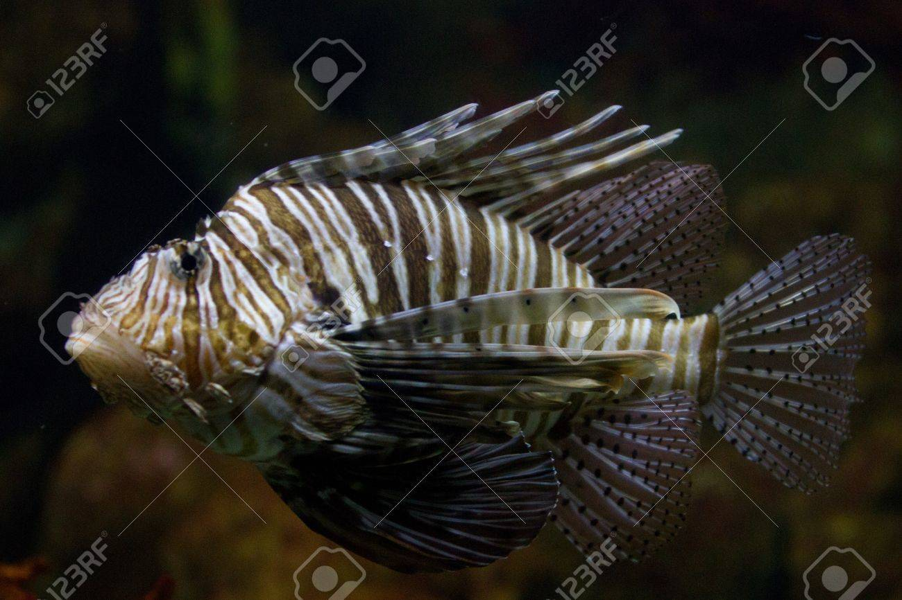 The red lionfish (Pterois volitans) venomous coral reef fish is clad in white stripes alternated with red, maroon, or brown. The fish has fleshy tentacles that protrude from both above the eyes and below the mouth Stock Photo - 11873089