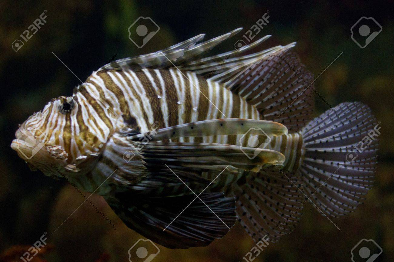 The red lionfish (Pterois volitans) venomous coral reef fish is clad in white stripes alternated with red, maroon, or brown. The fish has fleshy tentacles that protrude from both above the eyes and below the mouth Stock Photo - 11873081