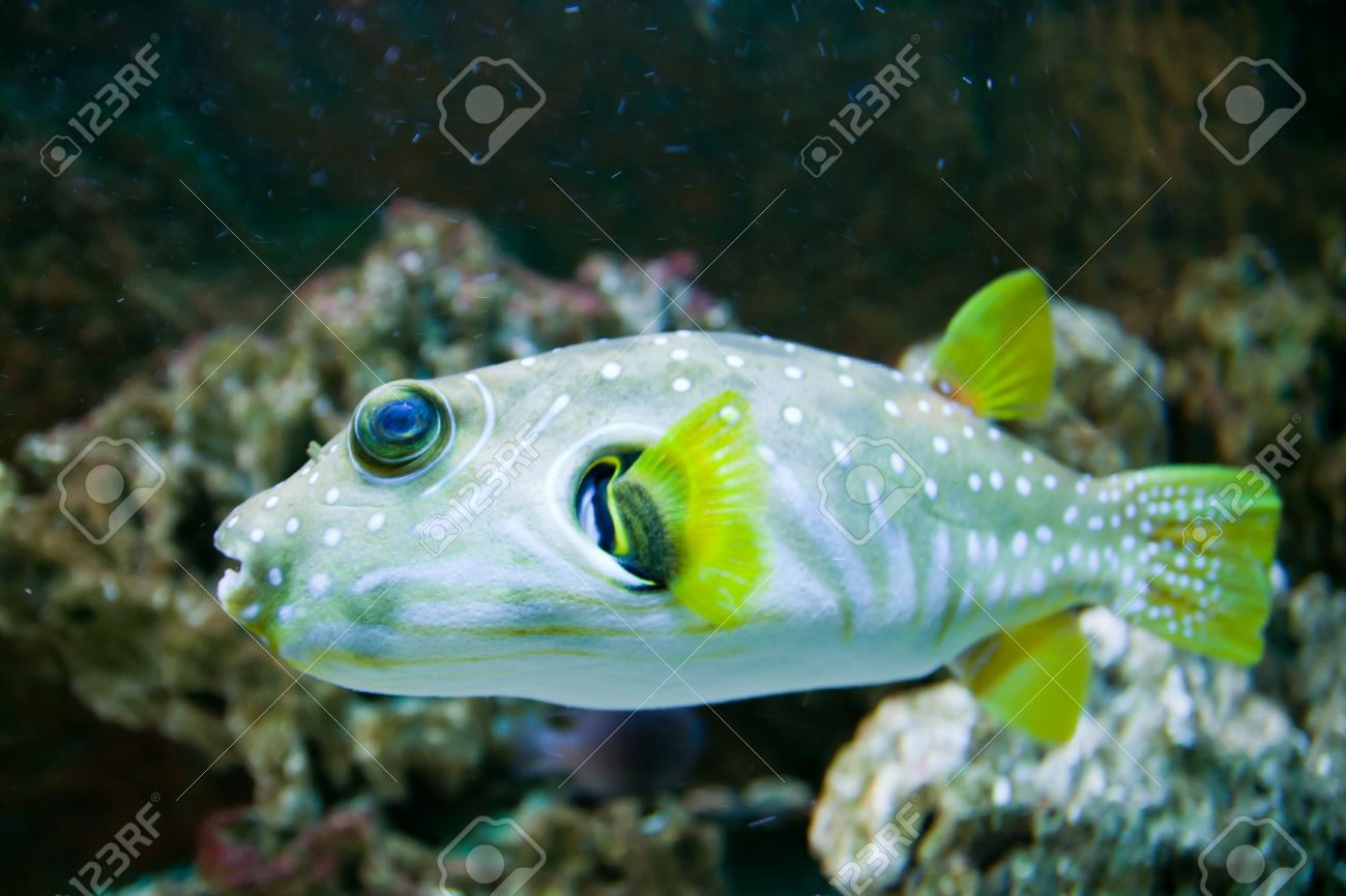 White-Spotted puffer, Arothron Hispidus, aquarium fish Stock Photo - 15477600
