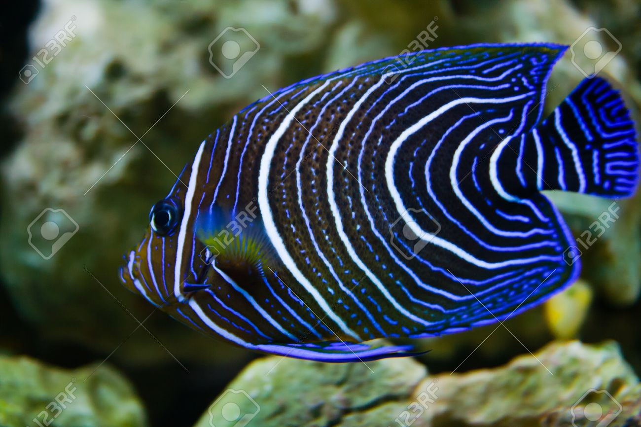 Pomacanthus navarchus blue girdled angel sea aquarium fish Stock Photo - 15479195