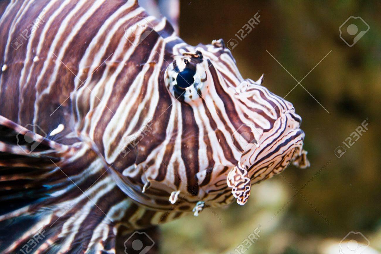 Red lionfish (Pterois volitans) aquarium fish, a venomous coral reef fish Stock Photo - 15479213