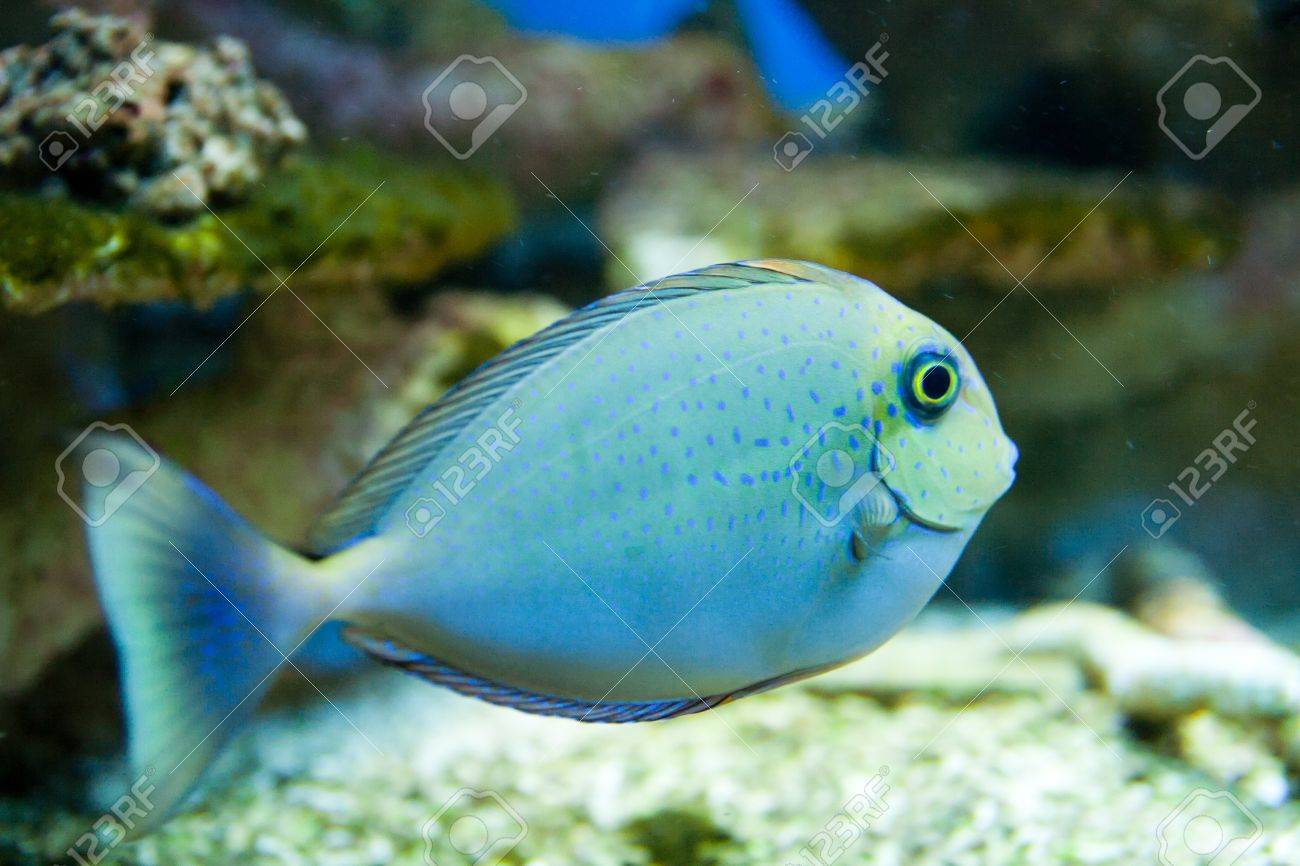 Dotted blue and yellow aquarium fish Stock Photo - 15465010