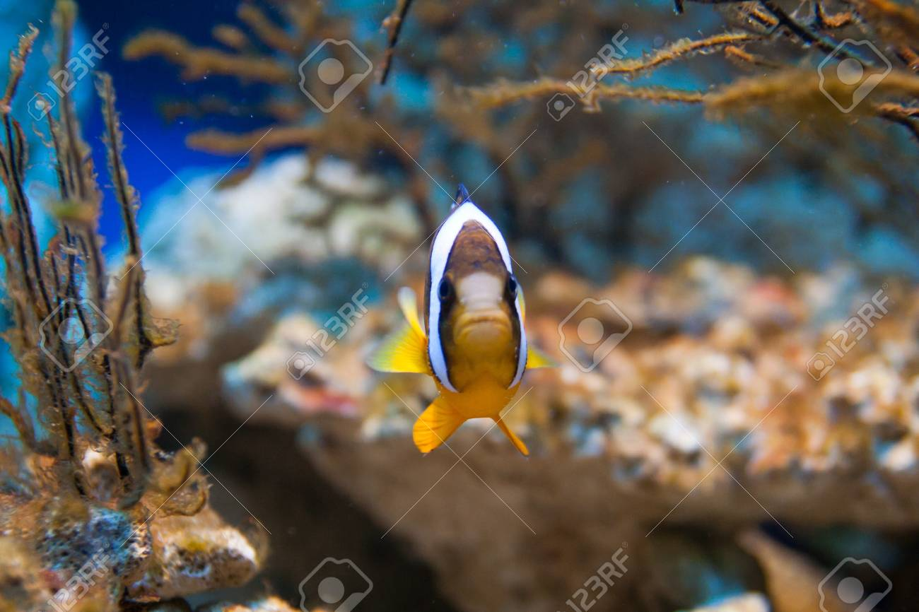 Nemo (clownfish, anemonefish, Amphiprioninae) over blue background Stock Photo - 15477605