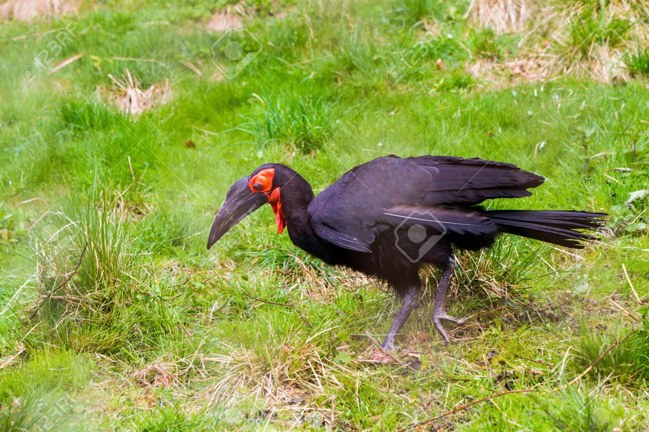 https://previews.123rf.com/images/anky/anky1708/anky170800249/83867110-the-southern-ground-hornbill-bucorvus-leadbeateri-formerly-known-as-bucorvus-cafer-.jpg