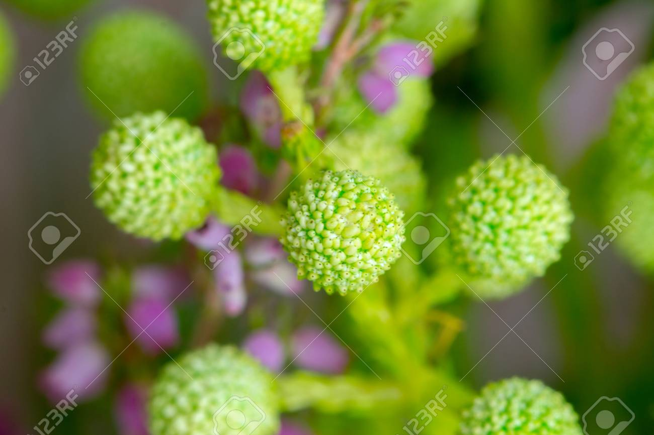 Spring Green Billy Balls Craspedia Flowers Stock Photo Picture
