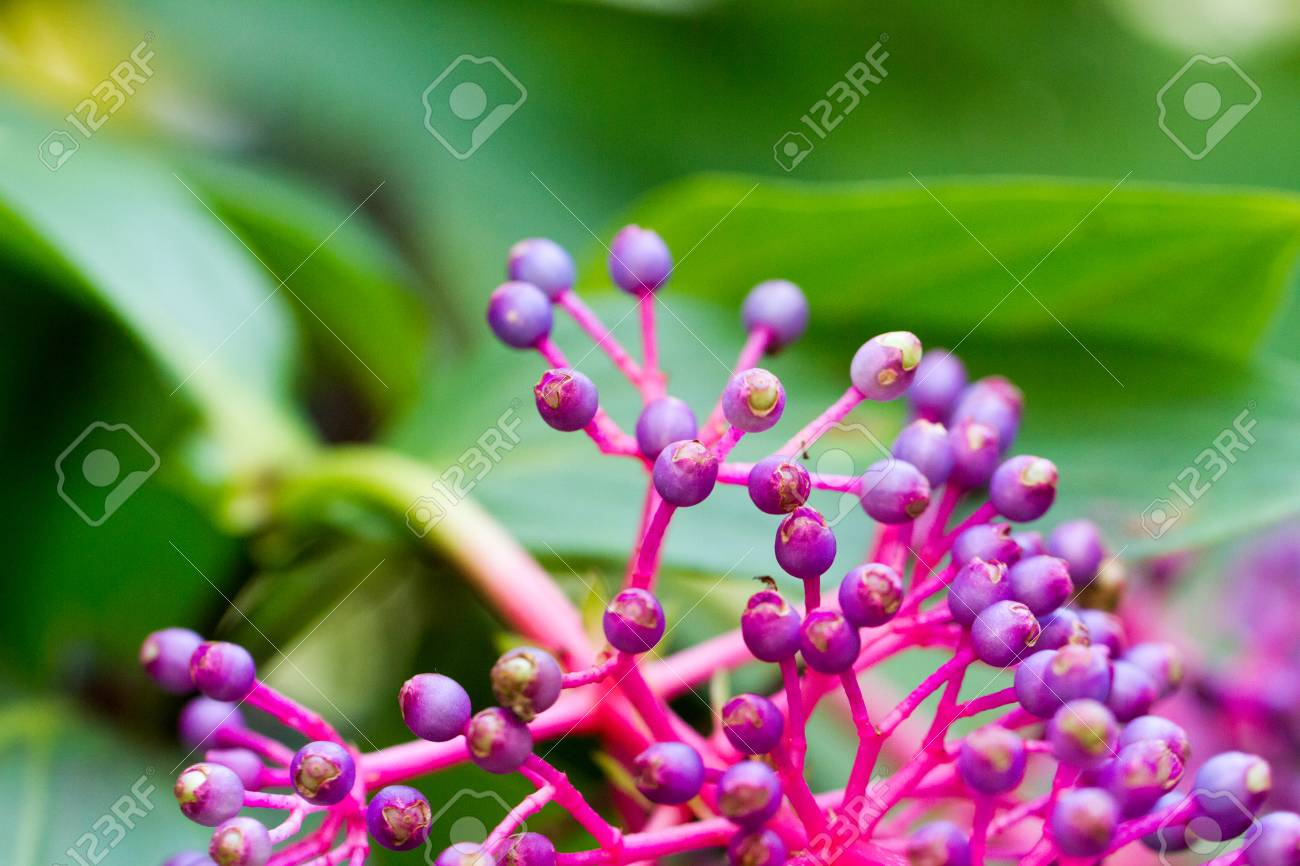 The Berry Bearing Raceme Of Medinilla Speciosa Common Name Showy
