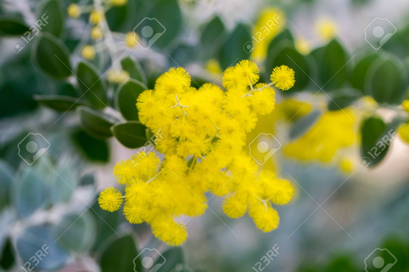 Bunch Of Yellow Little Bulb Flowers Resembling Mimosa Plant Stock