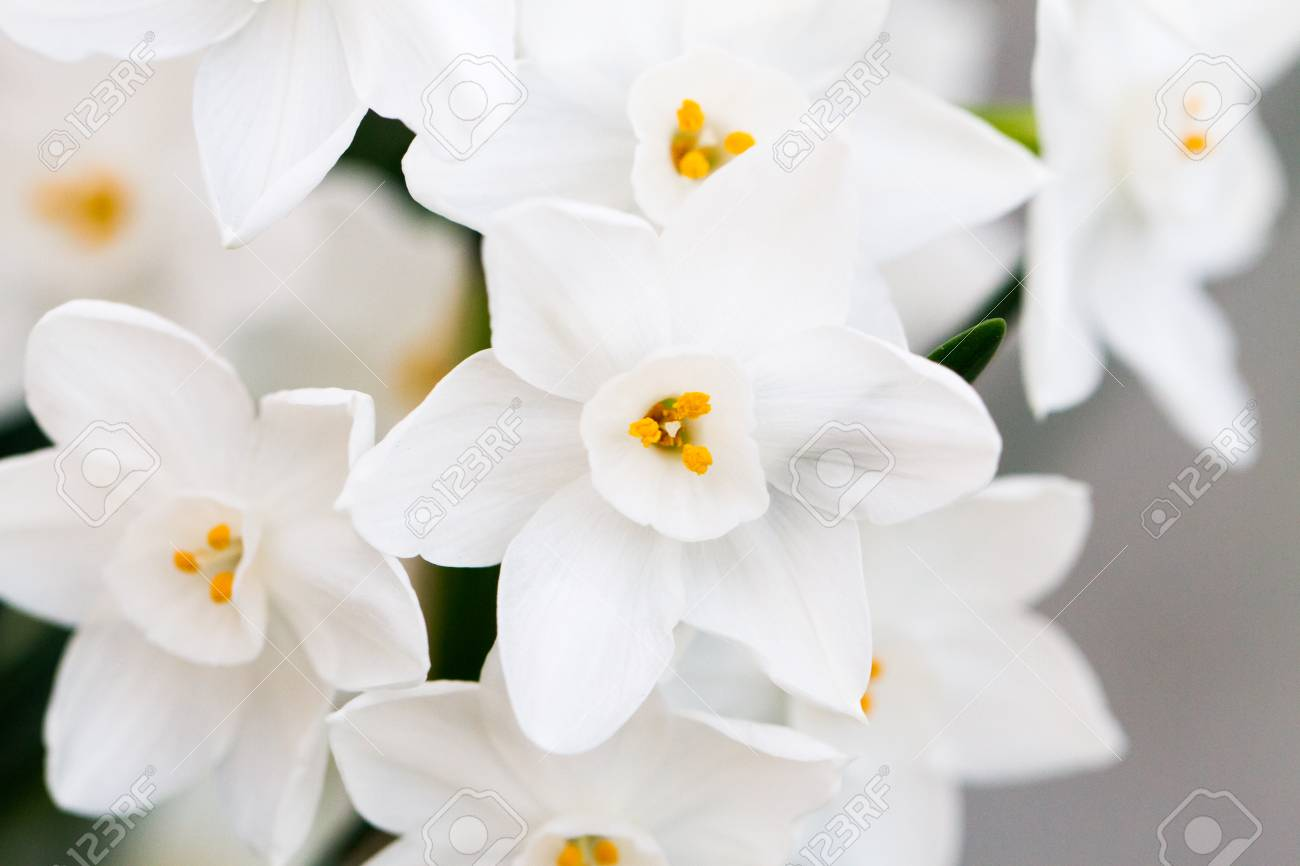 Close-up Of White Daffodil Flowers, Known As Paperwhite, Narcissus ...