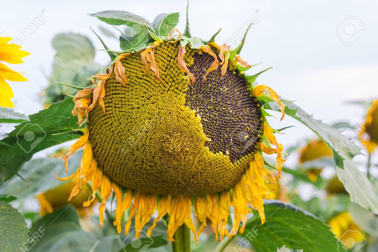 Tete Fleur D Un Tournesol Avec La Maturation Des Graines Closeup