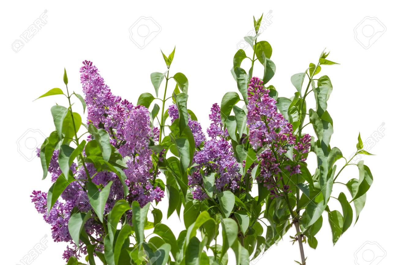 Top Of The Lilac Bush With The Light Purple Flowers On A Light
