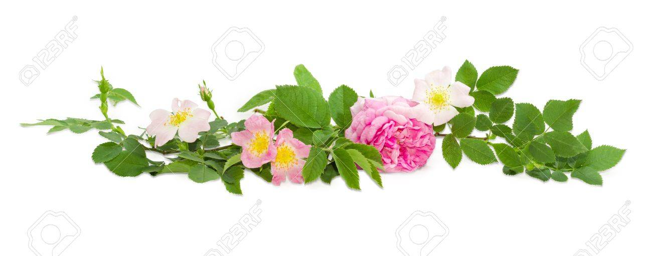 Branches Of The Dog Rose With Different White And Pink Flowers