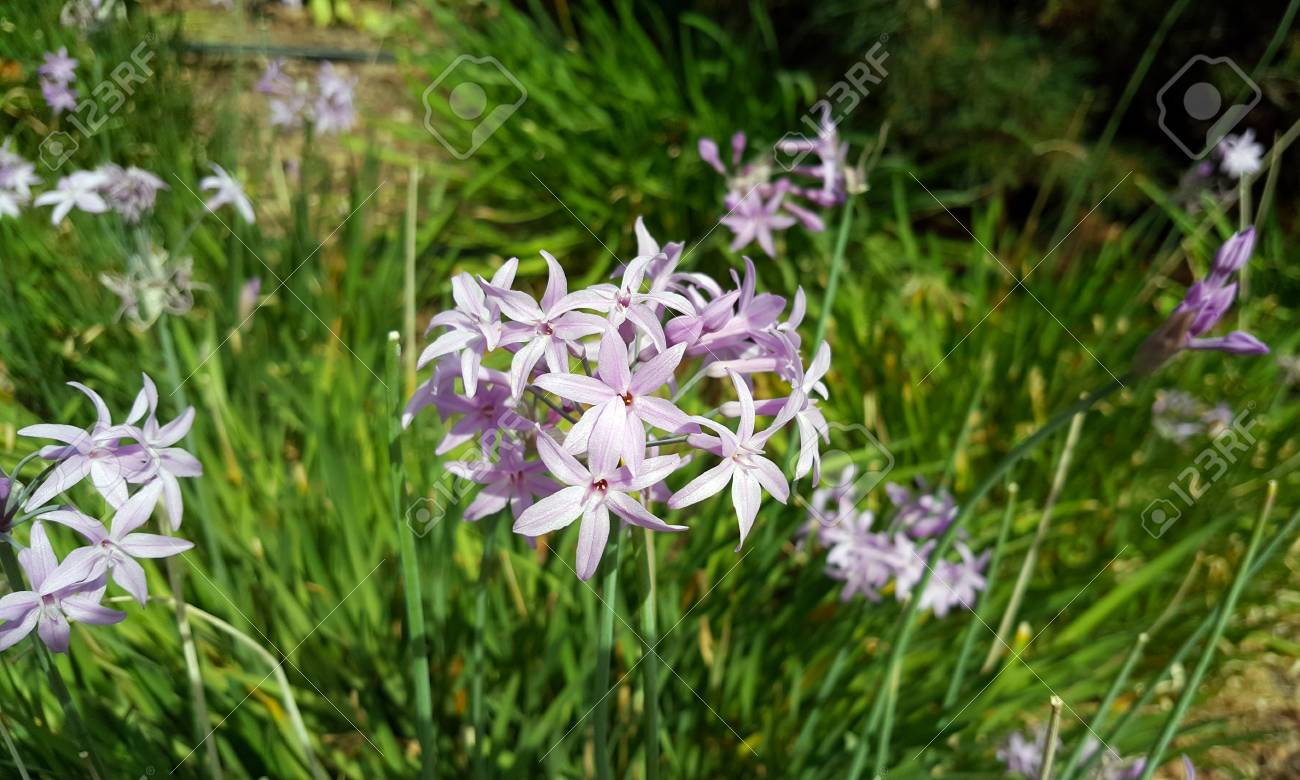 Blue african lily flower or lily of the nile agapanthus stock blue african lily flower or lily of the nile agapanthus africanus syn agapanthus umbellatus native to south africa izmirmasajfo
