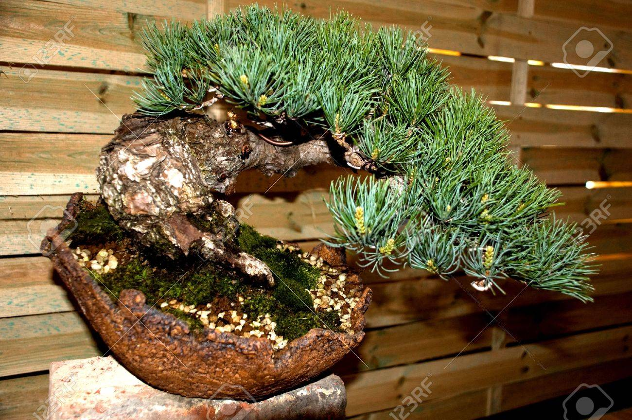 Conifer Bonsai Tree Stock Photo Picture And Royalty Free Image Image 4876923