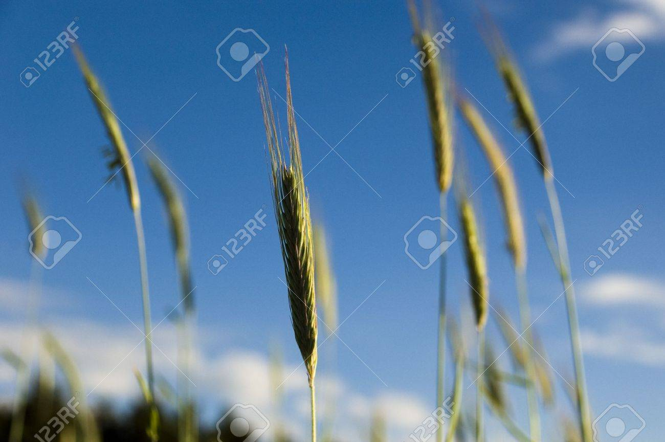 crops on the background of the sky Stock Photo - 5203898