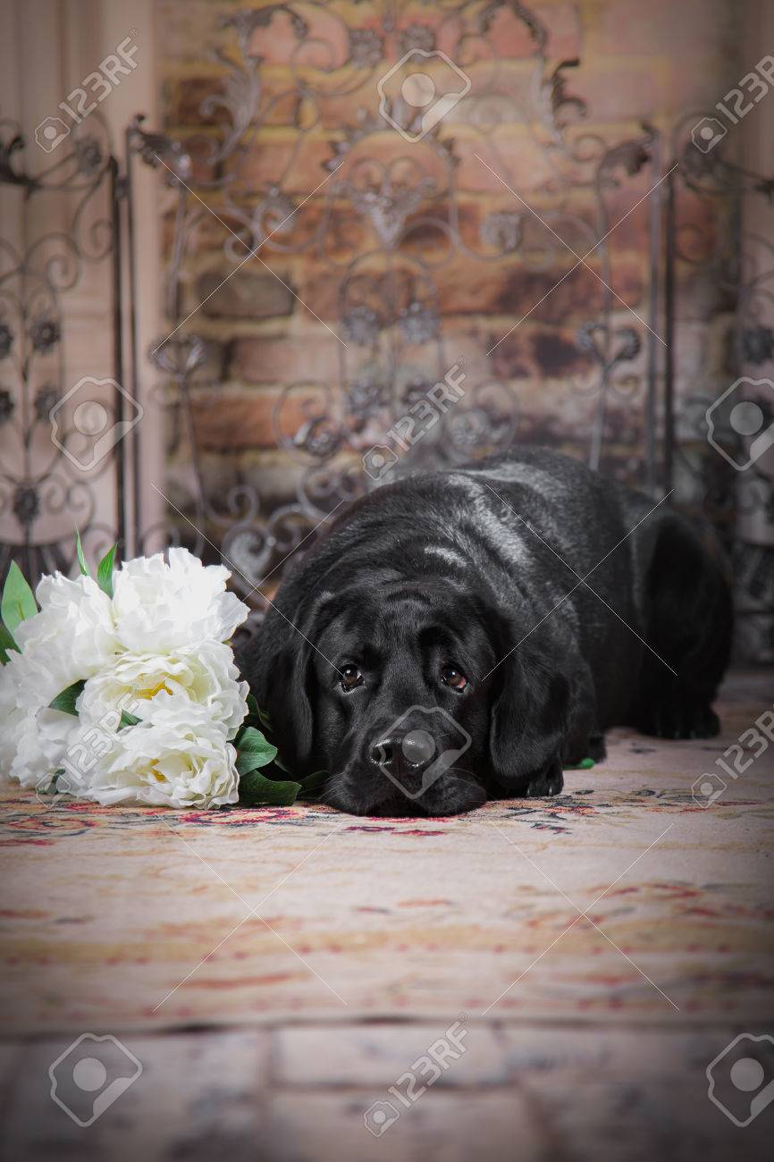 Must see Labrador Black Adorable Dog - 31633828-cute-dog-with-a-flower-dog-breed-labrador-retriever-black  Pic_613525  .jpg