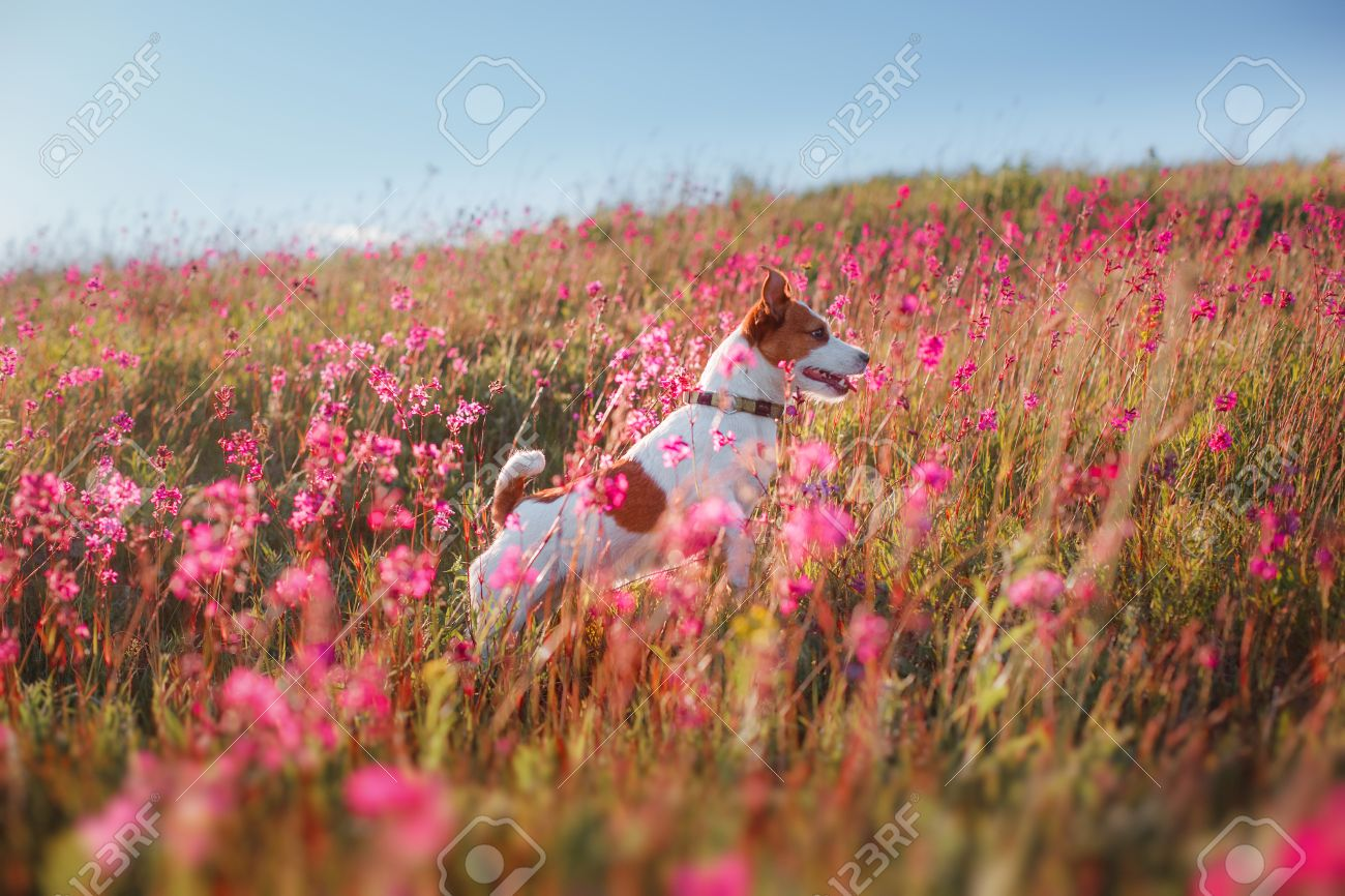 Dog Jumping In The Beautiful Flower Fields Stock Photo Picture And