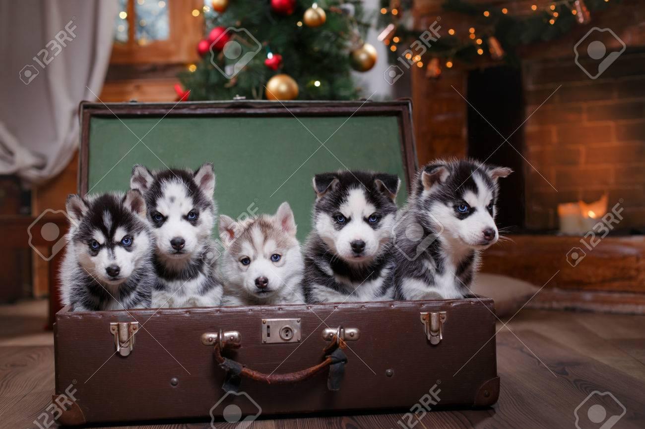 Husky Christmas Puppy.Dog Siberian Husky Group Of Siberian Husky Puppies Christmas